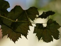 Leaf, Grape Leaves, Grapevine Family, Plant Stock Images