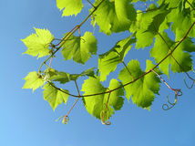Leaf from grape plant. Close-up of very green leaf from grape plant against clear blue summer sky Stock Images