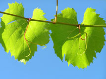 Leaf from grape plant Royalty Free Stock Photo