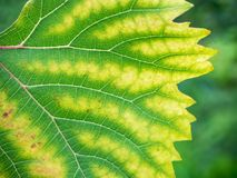 Leaf of grapes with chlorosis closeup Royalty Free Stock Images