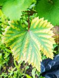Leaf of grapes with chlorosis Stock Photo