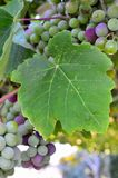 Leaf and grapes. Close-up of a leaf and grapes in garden, Greece Stock Photos