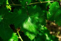 Leaf of grapes. Collection. Total depth of field. A leaf on a branch with branches. royalty free stock photo