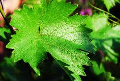 Leaf of grapes Stock Photo