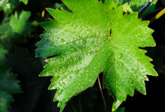 Leaf of grapes Royalty Free Stock Photo