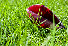 Leaf and grass. A single red leaf laying in a meadow Stock Images