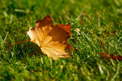 Leaf in grass. Orange autumn maple leaf in grass royalty free stock photos