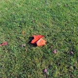A leaf on the grass in the autumn. Taken with iPhone. A sunny autumn day stock photography