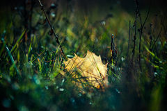 A leaf in the grass Royalty Free Stock Images