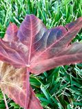 Leaf and Grass. Pretty maroon leaf demonstrates beauty of nature royalty free stock images