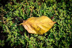 Leaf on the grass Royalty Free Stock Images