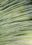 Leaf of Grass tree or Black boy. Leaf of Grass tree ,Black boy or Xanthorrhoea . Xanthorrhoea is a genus of flowering plants native to Australia and a member of Royalty Free Stock Photography