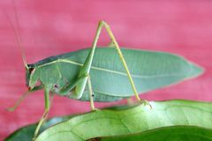 Leaf grasshopper Royalty Free Stock Photography