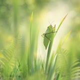 Leaf Grasshopper Royalty Free Stock Image