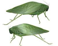 Leaf Grasshopper royalty free stock photos