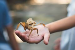 Leaf grasshopper stick on kid hand. In the zoo royalty free stock image