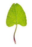 Leaf of Greater burdock isolated on white Stock Image