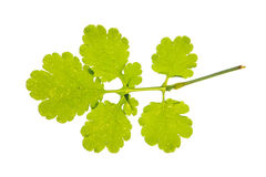 Leaf of greater celandine isolated on white Stock Photos