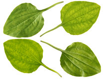 Leaf of greater plantain Stock Photography
