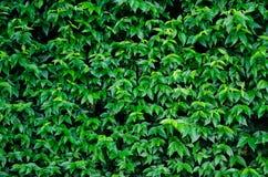 Leaf. Green leaf of background Royalty Free Stock Images