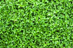Leaf  green Royalty Free Stock Image