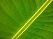 Leaf, Green, Banana Leaf, Plant Royalty Free Stock Image