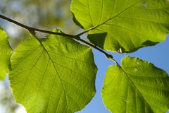 Leaf, Green, Branch, Back Light Stock Photo