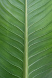 Leaf. Green leaf close wallpaper picture Royalty Free Stock Photos