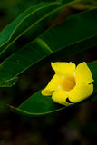 Leaf green  with drops with yellow flower Royalty Free Stock Photos