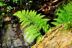 Leaf green ferns in a mountain forest. In the summer Royalty Free Stock Photography