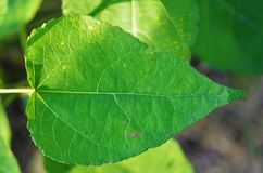 Leaf, Green, Green Leaf Royalty Free Stock Image