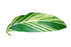 Leaf of green houseplant Royalty Free Stock Image