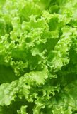 Leaf of green lettuce Royalty Free Stock Image