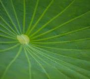 Leaf green lotus Royalty Free Stock Photo