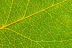 Leaf green macro. Close up of green leaf showing detailed veining Royalty Free Stock Images