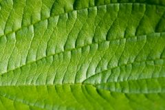 Leaf, Green, Macro, Structure Royalty Free Stock Photography