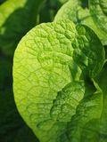 Leaf, Green, Nature, Wrinkled Royalty Free Stock Images