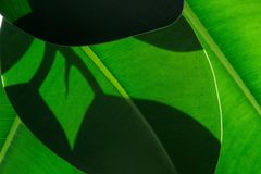 Leaf, Green, Plant, Banana Leaf Stock Photos