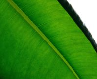 Leaf, Green, Plant, Banana Leaf Royalty Free Stock Image