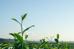 Leaf of green tea in farm. Leaf of green tea and beautiful nature in farm Stock Photography
