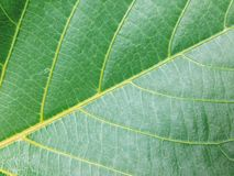 Leaf. Green texture royalty free stock images