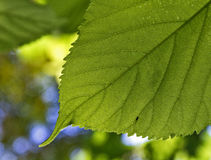 leaf. Green leaf with venous structure Stock Photo
