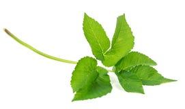 Leaf ground elder plants isolated on white background Stock Image