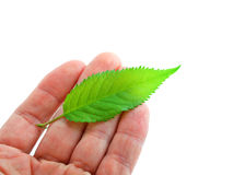 Leaf on hand Stock Photography