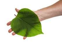 Leaf on hand Stock Photo