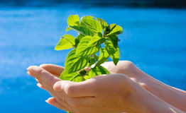 Leaf in hands Stock Photo