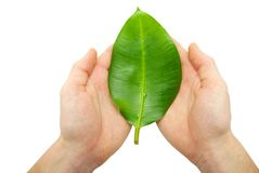 Leaf in hands Stock Image