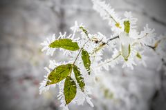 Leaf hanging on a tree covered with hoarfrost. Morning frost deposition. Early frosts, freezing, soft rime. royalty free stock photography
