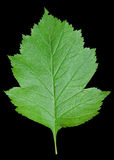Leaf of hawthorn 4 Stock Image