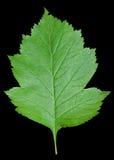 Leaf of hawthorn 4 Stock Image